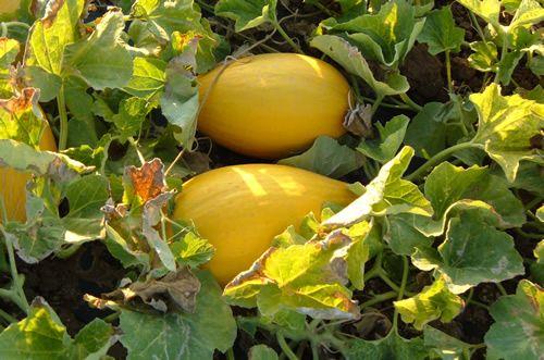 Melone Cartucciaro di Paceco